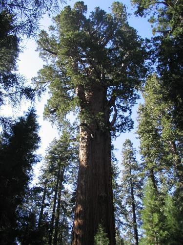 2373084general_sherman_treesequoia_
